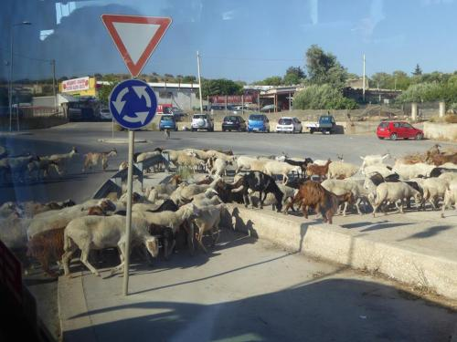 Goats. On the road.